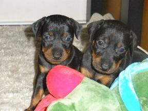 puppys-max2